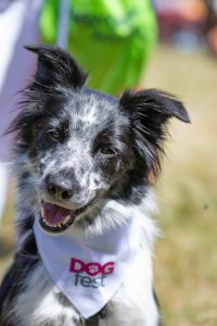 Dogfest collie with DF bandana DFB5913