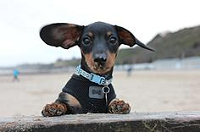 Four paws sausage dog