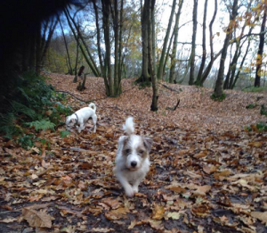 two little terriers in a wood