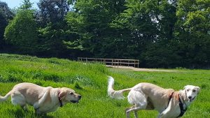 Bailey and lab running at Canford Park SANG
