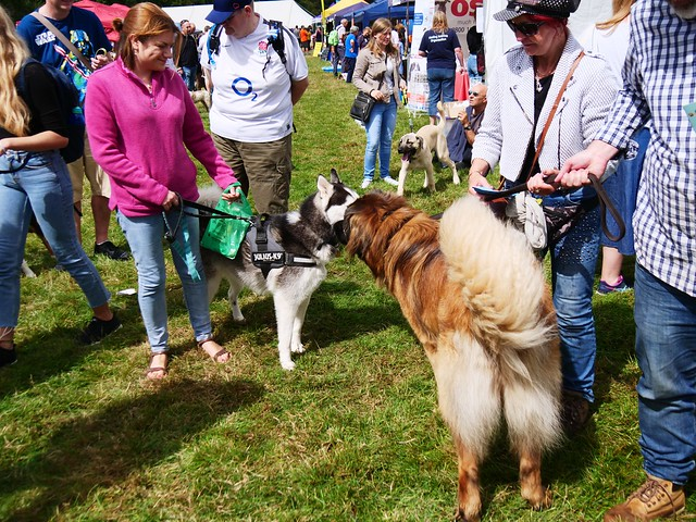 Husky and Leonberger saying hello on the busy Festival site