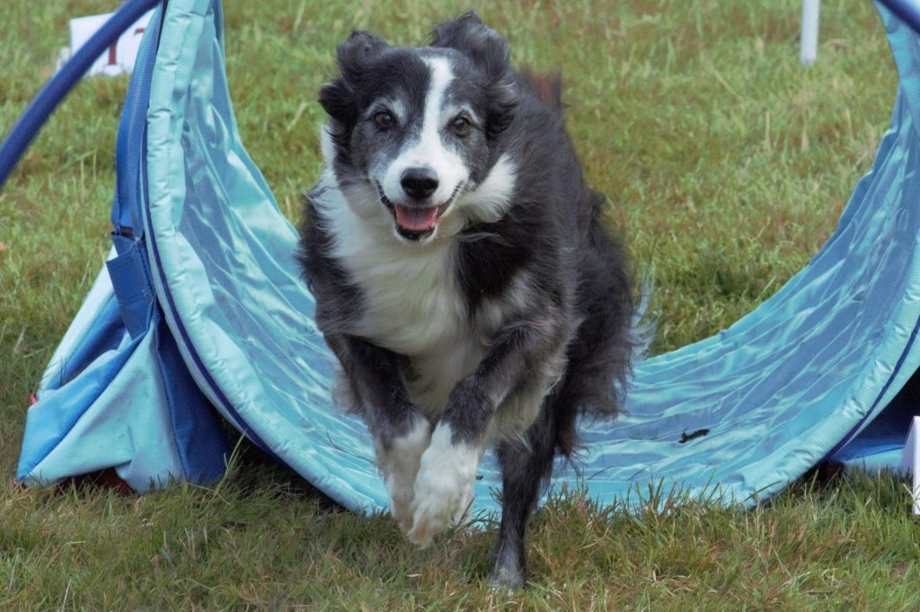 Collie running through tunnel