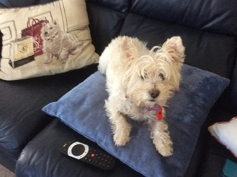Westie cross Bella on a cushion