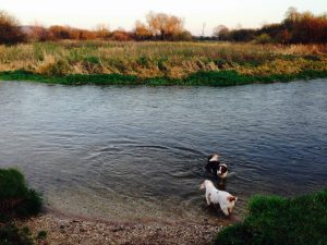 Dogs in the river near Woodsford Castle