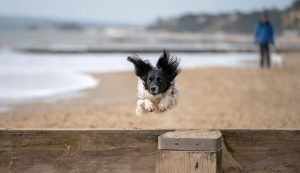 Dog Maggie jumping joyfully over a beach groyne