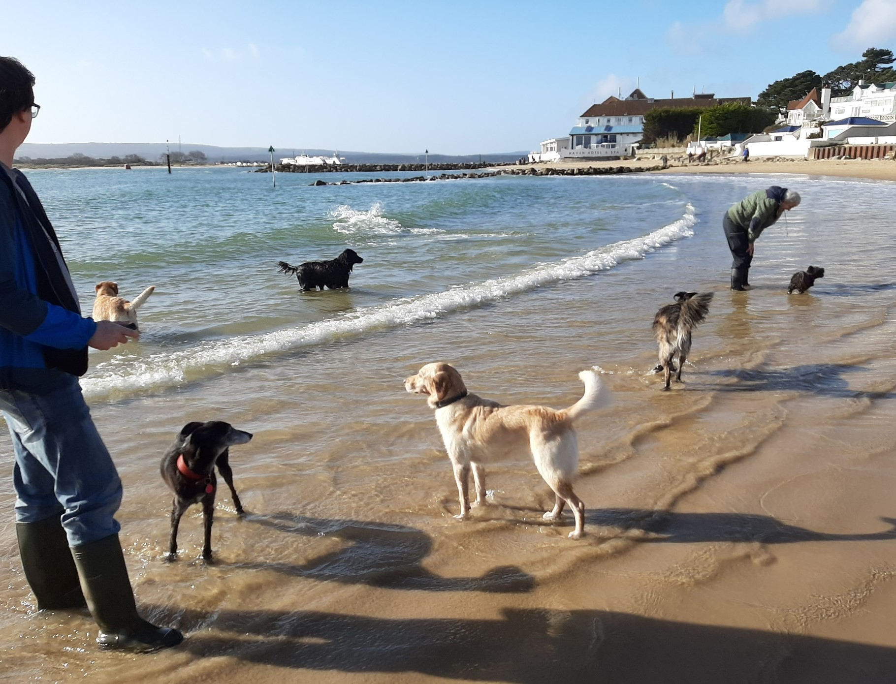 Dogs, & people in wellies, in winter sea on a bright day at Sandbanks Beach West all year round dog-friendly beach.