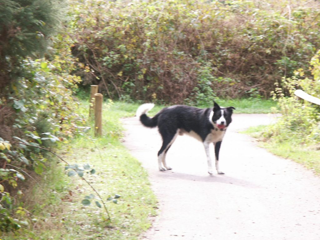 Collie Moshi waiting on the path